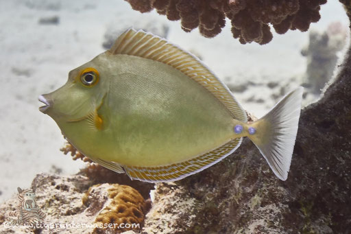 Juv. Blauklinken Nasendoktor / juv. bluespine unicornfish or short-nose unicornfish / Naso unicornis / Erg Talata - Hirghada - Red Sea / Aquarius Diving Club