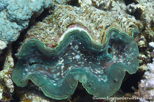Schuppige Riesenauster / common giant clam / Pteria aegyptiaca / Hurghada - Red Sea / Aquarius Diving Club