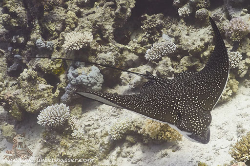 Gefleckter Adlerrochen / spotted eagle ray / Aetobatus narinari / Shaab Sabina - Hurghada - Red Sea / Aquarius Diving Club