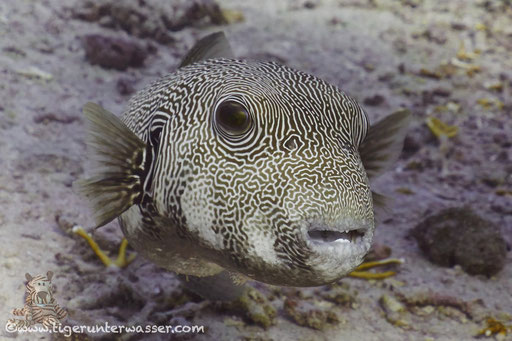 Riesen Kugelfisch / starry puffer / Arothron stellatus / Errough - Hurghada - Red Sea / Aquarius Diving Club