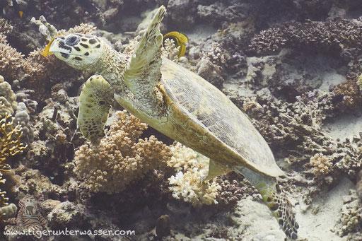 Echte Karettschildkröte / hawksbill sea turtle / Eretmochelys imbricata / Fanadir Nord - Hurghada - Red Sea / Aquarius Diving Club