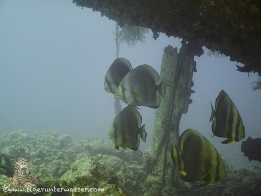 Rundkopf Fledermausfisch / Orbicular batfish / Platax orbicularis / Mohamed Hassaballa - Hurghada - Red Sea / Aquarius Diving Club