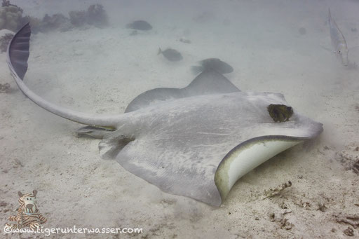 Federschwanz Stechrochen / cowtail stingray / Pastinachus sephen / Sakhwat Abu Galawa - Hurghada - Red Sea / Aquarius Diving Club