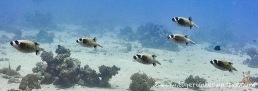 Masken Kugelfisch / masked puffer / Arothron diadematus / Hurghada - Red Sea / Aquarius Diving Club