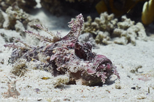 Red Sea Walkman / Devil scorpionfish / Inimicus filamentosus / Ben El Gebal - Hurghada - Red Sea / Aquarius Diving Club