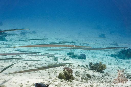 Flötenfisch / Bluespotted Cornetfish / Fistularia commersonii / Ben El Gebal - Hurghada - Red Sea / Aquarius Diving Club