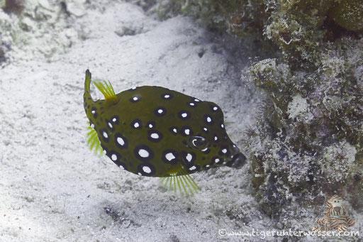 Gelbbrauner Kofferfisch ♀ / yellow boxfish ♀ / Ostracion cubicus ♀ / Godda Abu Galawa - Hurghada - Red Sea / Aquarius Diving Club