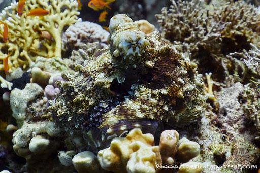 Roter Krake / common reef octopus or big blue octopus / Octopus cyaneus / Shabrul - Hurghada - Red Sea / Aquarius Diving Club