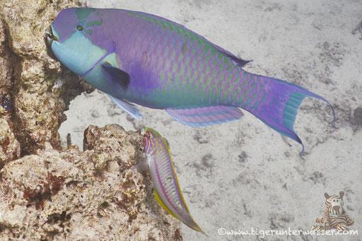 Rotmeer Buckelkopf Papageifisch / Red sea steephead / Clorurus gibbus / Fanadir Nord - Hurghda - Red Sea / Aquarius Diving Club
