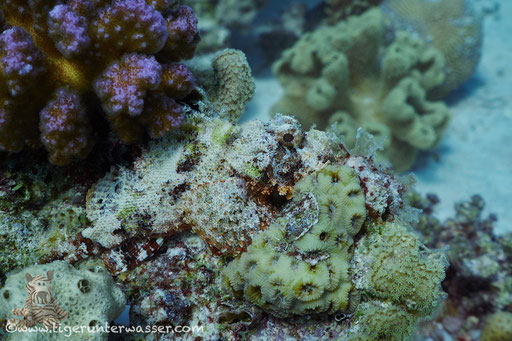 Bärtiger Drachenkopf / bebared scorpionfish / Scorpaeopsis barbatus / Godda Abu Galawa - Hurghada - Red Sea / Aquarius Diving Club
