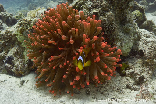 Blasenanemone / Bubble-tip anemone / Entacmaea quadricolor / Sakhwat Abu Galawa - Hurghada - Red Sea / Aquarius Diving Club