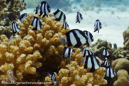 Dreibinden Preussenfisch / Whitetail dascyllus / Dascyllus aruanus / Godda Abu Ramada East - Hurghada - Red Sea / Aquarius Diving Club