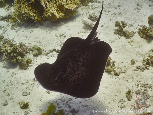 Schwarzpunt Stechrochen - blotched fantail ray - Taeniura meyeni / Ben El Gebal - Hurghada - Red Sea / Aquarius Diving Club