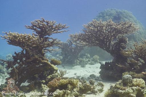 Godda Abu Galawa / Hurghada - Red Sea / Aquarius Diving Club