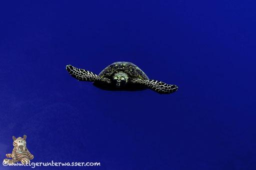 Echte Karettschildkröte / hawksbill sea turtle / Eretmochelys imbricata / Umm Sail - Marsa Alam - Red Sea / Aquarius Diving Club