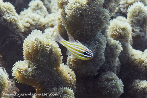 Goldstreifen Kardinalbarsch /Cardinalfish /  Apogon cyanosoma / Abu Ramada Süd - Hurghada - Red Sea / Aquarius Diving Club