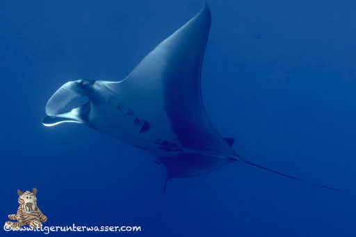 Manta / Manta birostris / Gotta El Kebira - St.Johns - Red Sea / Vita Xplorer