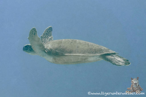 Echte Karettschildkröte / hawksbill sea turtle / Eretmochelys imbricata / Disha - Hurghada - Red Sea / Aquarius Diving Club