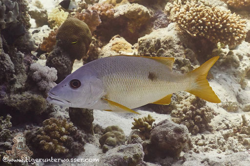 Einfleck Schnapper / blackspot snapper / Lutjanus monostima / Godda Abu Ramada East - Hurghada - Red Sea / Aquarius Diving Club