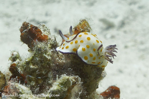 Ringel Sternschnecke / Chromodoris annulata / - Hurghada - Red Sea / Aquarius Diving Club