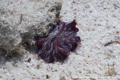 Rost Strudelwurm / Pseudoceros cf. ferrugineus / Fanus West - Hurghada - Red Sea / Aquarius Diving Club