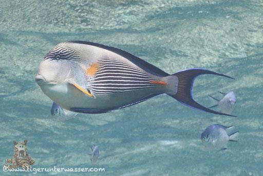 Arabischer Doktorfisch / Sohal surgeonfish / Acanthurus sohal / Fanus West - Hurghada - Red Sea / Aquarius Diving Club