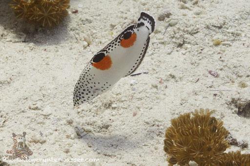 Spiegelfleck Junker Juv./ clown coris juv. / Coris aygula Juv. / Erg Estha - Hurghada - Red Sea / Aquarius Diving Club