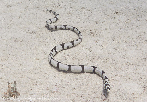 Gestreifter Schlangenaal / Marsa Abu Galawa - Hurghada - Red Sea / Aquarius Diving Club