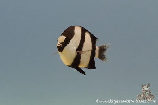 Dreibinden Preussenfisch / Whitetail dascyllus / Dascyllus aruanus / Ben El Gebal - Hurghada - Red Sea / Aquarius Diving Club