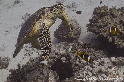 Echte Karettschildkröte / hawksbill sea turtle / Eretmochelys imbricata / Fanadir Süd - Hurghada - Red Sea / Aquarius Diving Club