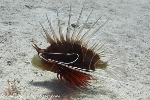 Strahlen Feuerfisch / clearfin lionfish, tailbar lionfish, radiata lionfish or radial firefish / Pterois radiata / Erruog - Hurghada - Red Sea / Aquarius Diving Club