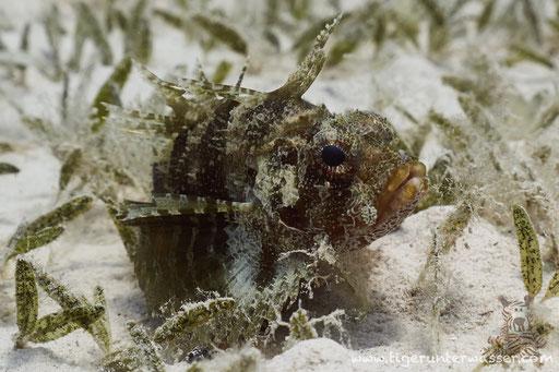 Kurzflossen Zwergfeuerfisch / Shortfin Turkeyfish or Dwarf lionfish / Dendrochirus brachypterus / Fanus East - Hurghada - Red Sea / Aquarius Diving Club