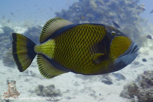 Riesen Drückerfisch / titan triggerfish / Balistoides viridescens / Umm Kamar - Hurghada - Red Sea / Aquarius Diving Club