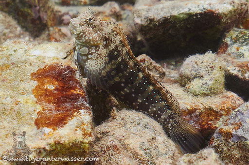 Juwelen Kammzähner - Jewelled Blenny - Salarias fasciatus / Marriott Beach - Hurghada - Red Sea / Aquarius Diving Club