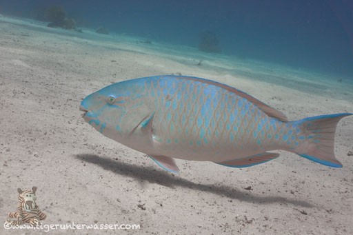 Blauband Papageifisch / Bluebarred parrotfish / Scarus ghobban / Erg Estha - Hurghada - Red Sea / Aquarius Diving Club