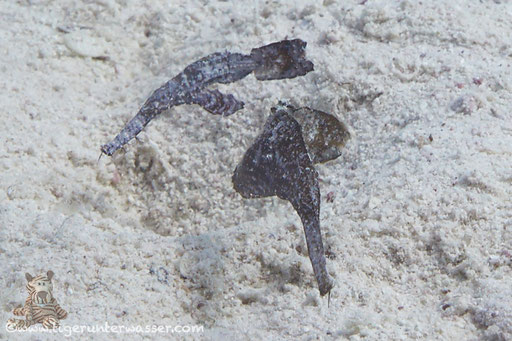 Seegras Geisterpfeifenfisch / Robust Ghost Pipefish / Solenostromus cyanopterus / Disha - Makadi Bay - Red Sea / Aquarius Diving Club