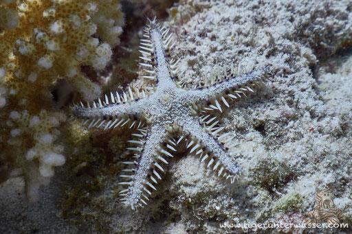 Kamm Seestern - Astropecten polyacanthus / Sakhwat Abu Galawa - Hurghada - Red Sea / Aquarius Diving Club