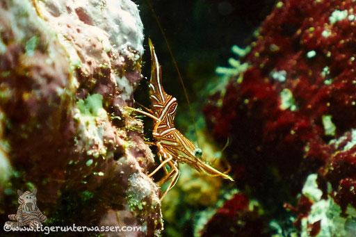 Durban-Tanzgarnele / Hingebeak Prawn / Rhynchocinetes durbanensis / Erg Talata - Hurghada - Red Sea / Aquarius Diving Club
