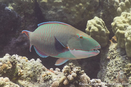 Masken Papageifisch♂ / bicolour parrotfish / Cetosscarus bicolor / Abu Ramada East - Hurghada - Red Sea / Aquarius Diving Club