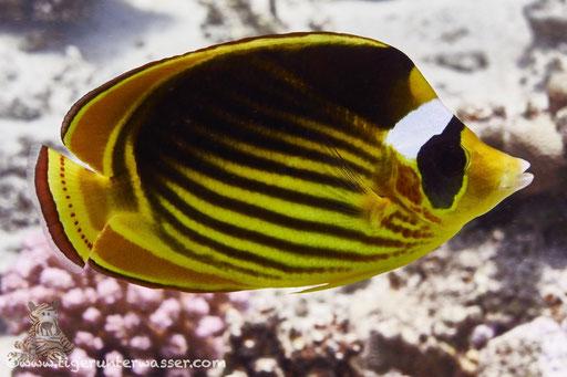 Tabak Falterfisch / Red Sea Raccoon Butterflyfish / Chaetodon fasciatus / Hurghada - Red Sea / Aquarius Diving Club