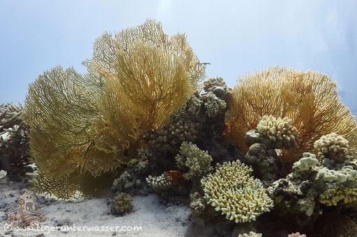 Big Shabaha - Hurghada - Red Sea / Aquarius Diving Club
