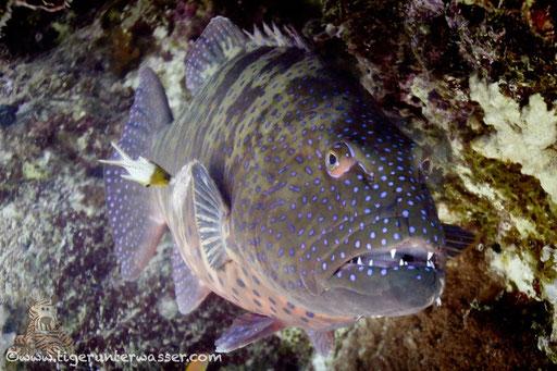 Forellen Zackenbarsch /  Squaretail coralgrouper / Plectropomus areolatus / Godda Abu Ramada East/West - Hurghda - Red Sea / Aquarius Diving Club