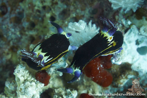 Rotmeer Sternschnecke / Nembrotha megalocera / Godda Abu Ramada East/West - Hurghada - Red Sea / Aquarius Diving Club