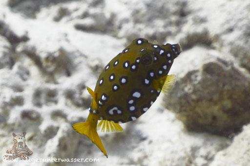 Gelbbrauner Kofferfisch ♀ / yellow boxfish ♀ / Ostracion cubicus ♀ / Fanadir Süd - Hurghada - Red Sea / Aquarius Diving Club