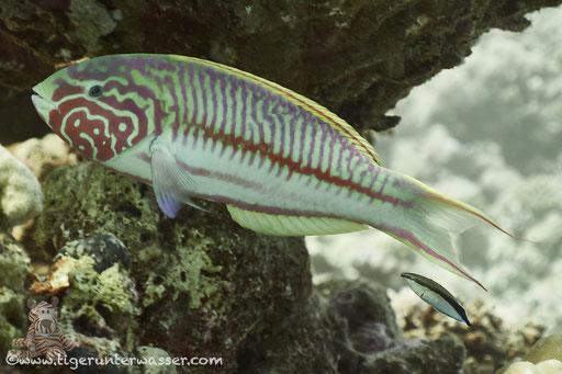 Rotmeer Junker / Klunzinger's wrasse / Thalassoma rueppellii / Disha Malagk - Hurghada - Red Sea / Aquarius Diving Club