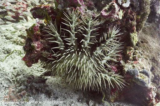 Dornenkrone / crown-of-thorns starfish / Acanthaster planci / Erg Talata - Hurghada - Red Sea / Aquarius Diving Club