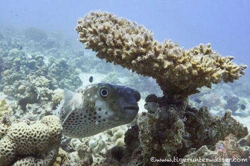 Gelbflecken Igelfisch / Spotbase burrfish / Cyclichthys spilostylus / Fanus West - Hurghada - Red Sea / Aquarius Diving Club