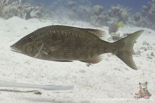 Spitzkopf Strassenkehrer / Lethrinus microdon / Marsa Abu Galawa - Hurghada - Red Sea / Aquarius Diving Club