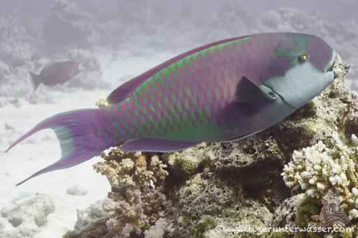 Rotmeer Buckelkopf Papageifisch / Red sea steephead / Clorurus gibbus / Godda Abu Ramada East/West - Hurghda - Red Sea / Aquarius Diving Club