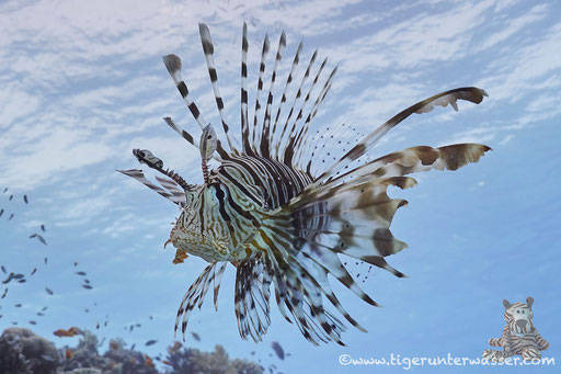 Indischer Rotfeuerfisch / common lionfish or devil firefish / Pteriois miles / Errough - Hurghada - Red Sea / Aquarius Diving Club